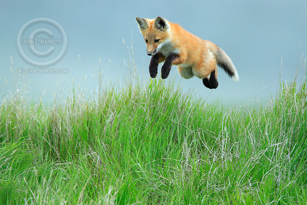 12. Leaping Fox