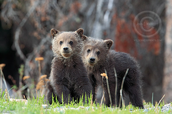 11. Grizzly Cubs